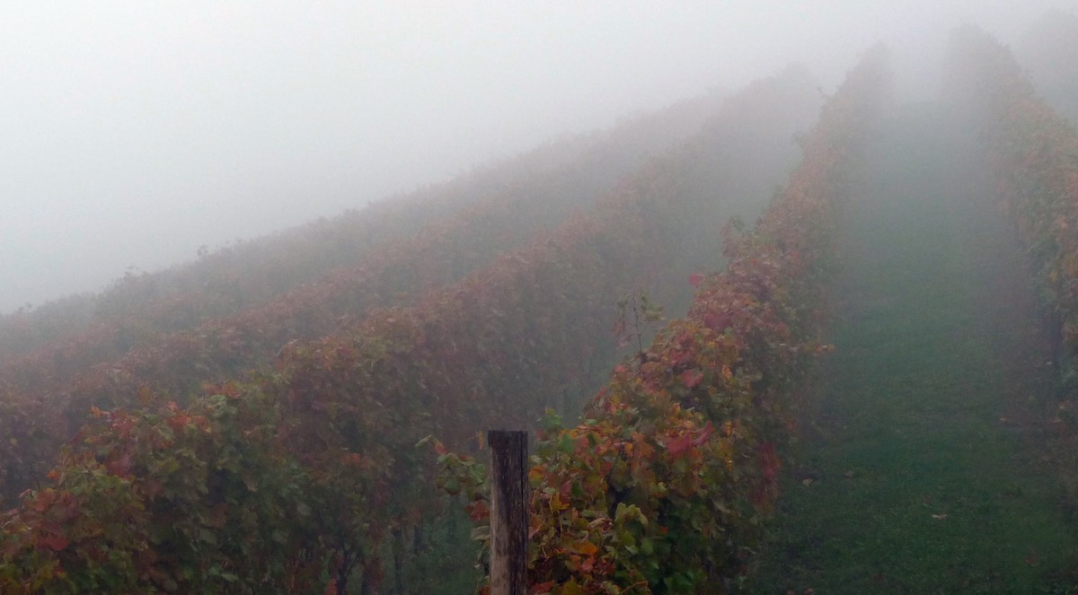 Fog protection for vineyards