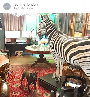 Taxidermy Zebra