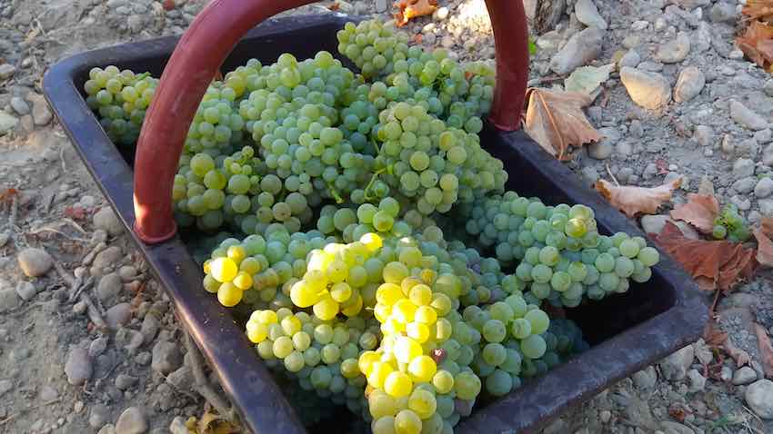 DOURTHE STARTS THE 2016 HARVEST
